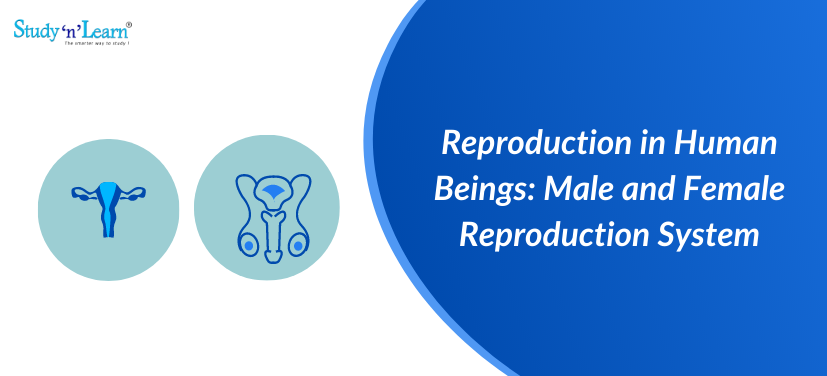 Reproduction in Human Beings: Male and Female Reproduction System